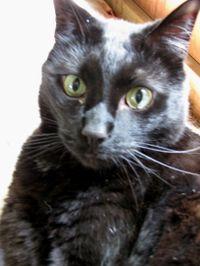 Cat life angelus2